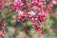 I germogli rosa luminosi della molla fiorisce su fondo vago nel giardino del fiore Fotografie Stock