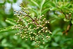 I germogli verdi piccoli del Sambucus della bacca di sambuco con le foglie verdi fresche sul sole molle si accende Anziano nomina fotografie stock