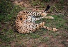 I ghepardi africani in masai Mara parcheggiano nel Kenya Fotografia Stock