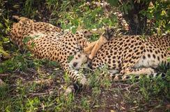 I ghepardi africani in masai Mara parcheggiano nel Kenya Immagini Stock Libere da Diritti