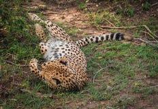 I ghepardi africani in masai Mara parcheggiano nel Kenya Immagine Stock