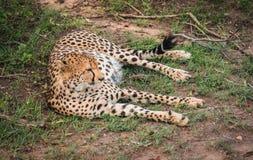 I ghepardi africani in masai Mara parcheggiano nel Kenya Fotografie Stock Libere da Diritti