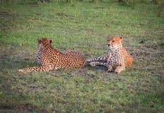 I ghepardi africani in masai Mara parcheggiano nel Kenya Fotografie Stock