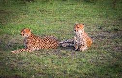 I ghepardi africani in masai Mara parcheggiano nel Kenya Fotografia Stock Libera da Diritti