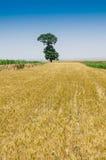 I giacimenti e gli alberi di grano Immagine Stock Libera da Diritti