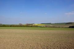 I giacimenti ed il seme di ravizzone di grano di primavera in una primavera abbelliscono Immagine Stock