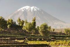 I giardini dell'inca con gli animali da allevamento ed il vulcano Misti Immagine Stock