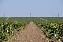 I giardini dell'uva Coltivazione degli acini d'uva al mare di Azov Fotografia Stock