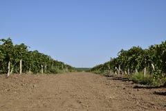 I giardini dell'uva Coltivazione degli acini d'uva al mare di Azov Fotografie Stock