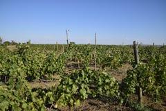 I giardini dell'uva Coltivazione degli acini d'uva al mare di Azov Immagine Stock Libera da Diritti