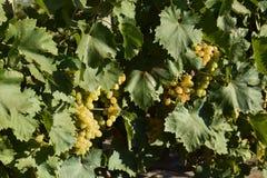 I giardini dell'uva Coltivazione degli acini d'uva al mare di Azov Fotografia Stock Libera da Diritti