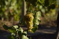 I giardini dell'uva Coltivazione degli acini d'uva al mare di Azov Fotografie Stock Libere da Diritti