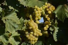 I giardini dell'uva Coltivazione degli acini d'uva al mare di Azov Immagini Stock Libere da Diritti