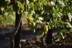 I giardini dell'uva Coltivazione degli acini d'uva al mare di Azov Immagine Stock