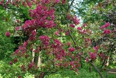 I giardini della frutta e molti rami di fioritura Fotografia Stock Libera da Diritti