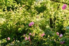 I giardini delle rose nel ` Gouna, Marocco di Kalaat m. Fotografie Stock
