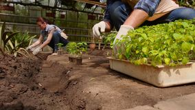 I giardinieri della donna e dell'uomo stanno ordinando le piantine prima della piantatura in terra aperta in serra video d archivio