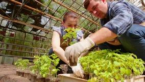 I giardinieri della donna e dell'uomo stanno ordinando le piantine prima della piantatura in terra aperta in serra stock footage