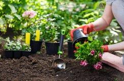 I giardinieri passa la piantatura dei fiori nel giardino, fine sulla foto fotografia stock