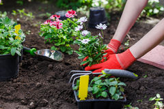 I giardinieri passa la piantatura dei fiori nel giardino, fine sulla foto fotografia stock libera da diritti