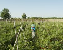 I giardinieri raccolgono il peperoncino rosso immagini stock