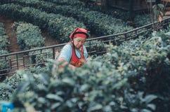 I giardinieri raccolgono le foglie di t? fotografia stock