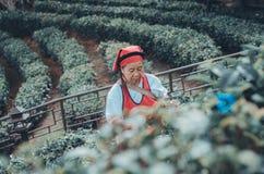I giardinieri raccolgono le foglie di t? immagine stock libera da diritti