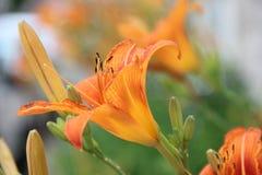 """I gigli del Lilium sono piante perenni alte che variano dell'altezza da 2†""""6 ft 60†""""180 cm Fotografie Stock Libere da Diritti"""