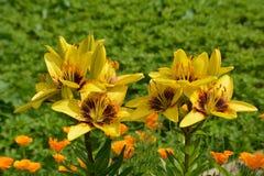 I gigli gialli dei bei fiori stanno fiorendo nell'aiola nel giardino fotografie stock libere da diritti