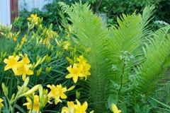 I gigli gialli di Bush Fotografia Stock