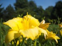 I gigli gialli sono in fioritura nel giardino Immagini Stock Libere da Diritti