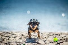I giochi divertenti del cane si avvicinano all'acqua, spruzzante le goccioline fotografia stock