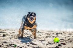 I giochi divertenti del cane si avvicinano all'acqua, spruzzante le goccioline fotografia stock libera da diritti