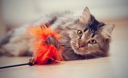 I giochi lanuginosi del gatto con un giocattolo Fotografie Stock Libere da Diritti