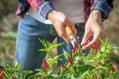 I giovani agricoltori stanno raccogliendo il peperoncino rosso nel giardino, commercio nel settore agricolo Fotografie Stock Libere da Diritti