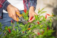 I giovani agricoltori stanno raccogliendo il peperoncino rosso nel giardino, commercio nel settore agricolo Immagini Stock Libere da Diritti