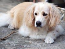 I giovani bei dei peli lunghi bianchi adorabili svegli incrociano il cane Immagini Stock Libere da Diritti