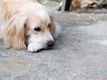 I giovani bei dei peli lunghi bianchi adorabili svegli incrociano il cane Fotografia Stock