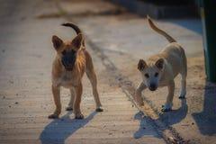 I giovani cani bianchi e marroni stanno stando sul pavimento di calcestruzzo in Fotografia Stock
