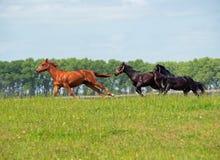 I giovani cavalli che galoppano su un'estate sistemano Fotografie Stock Libere da Diritti