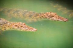 I giovani coccodrilli stanno galleggiando nell'acqua all'azienda agricola del coccodrillo o Fotografia Stock Libera da Diritti