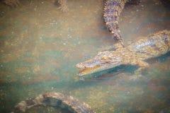 I giovani coccodrilli stanno galleggiando nell'acqua all'azienda agricola del coccodrillo o Immagine Stock