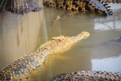 I giovani coccodrilli stanno galleggiando nell'acqua all'azienda agricola del coccodrillo o Fotografia Stock