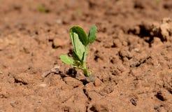 I giovani dell'erba dell'arco del seme che coltivano il raccolto a terra dell'azienda agricola organica della terra coltivano l'a Immagine Stock