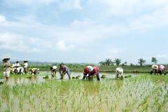 I giovani e filippini anziani che lavorano in un riso sistemano Immagini Stock