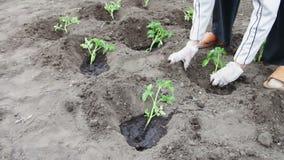 I giovani germogli dei pomodori sono gettati nella terra ed hanno innaffiato la terra a goccia a goccia Raccolto del pomodoro e c archivi video