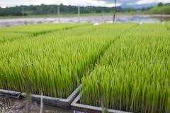 I giovani germogli del riso preparano piantare su una risaia in Tailandia fotografia stock
