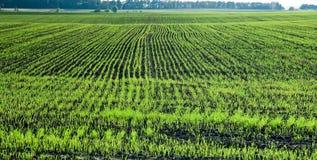 I giovani germogli di grano all'agricoltori sistemano Fotografie Stock Libere da Diritti
