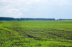 I giovani germogli di grano all'agricoltori sistemano Fotografia Stock