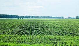 I giovani germogli di grano all'agricoltori sistemano Immagine Stock Libera da Diritti